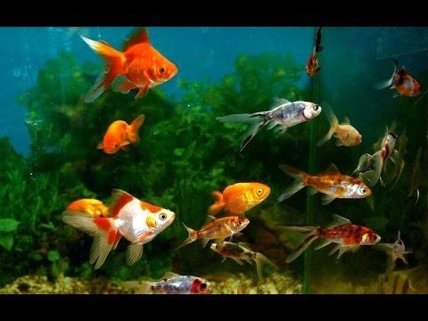 c7ab3c0edcd073 акваріумні рибки гупі,меченосци,малінезія - YouTube