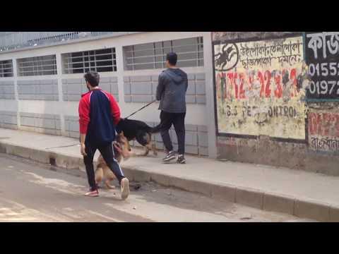 German Shepherd @  Pet Doctor in Bangladesh @ Dr. Sagir's Pet Clinic 01912251312