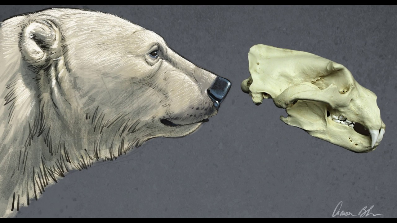 Drawing - Polar Bear starting with the skull - YouTube