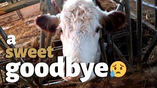 my-last-day-as-a-beef-farmer-vlog-214