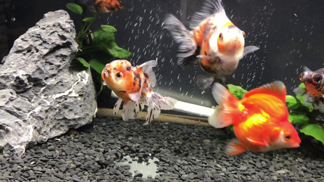 専門 店 カハラ 金魚