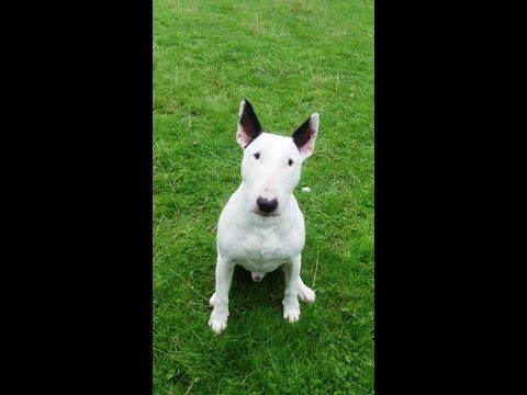 English Bull Terrier Shilogh just wants to go in and eat.