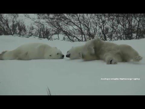 Polar Bears of Cape Churchill