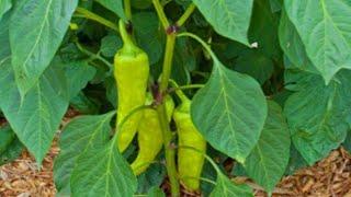 Aprenda A Plantar e Cultivar Pimenta de Cheiro em Seu Jardim