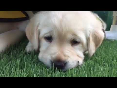 Puppy Raising - Guide Dogs of America