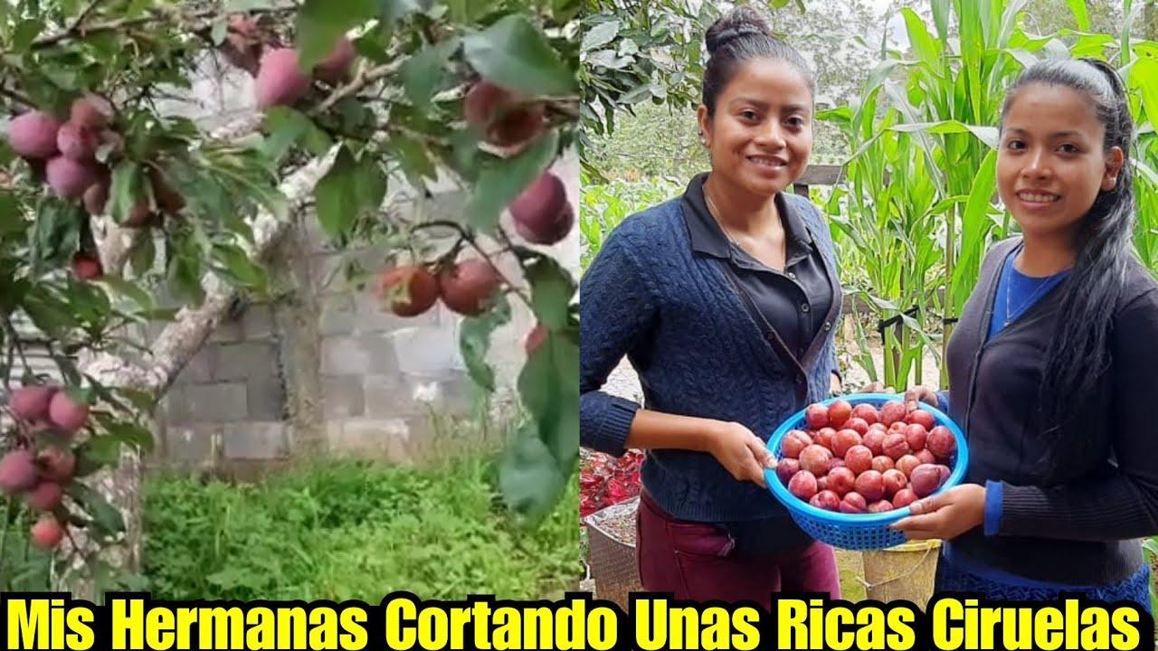 Asi Se Cosecha La Fruta En Tecpan Guatemala 🙂