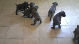 Cane Corso Puppies At 6 Weeks Old - Puppy Socialization