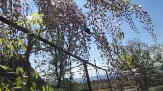 Ксилокопа фиолетовая (пчела плотник) на цветущей глицинии(На Пасху 2016.02.05 на распустившейся глицинии удалось снять редкую исчезающую ксилокопу фиолетовую (пчелу..., 2016-05-25T19:28:52.000Z)