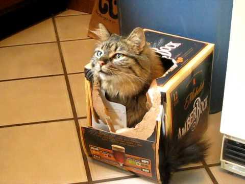 Luna, my Maine Coon cat, doing her beer box trick.