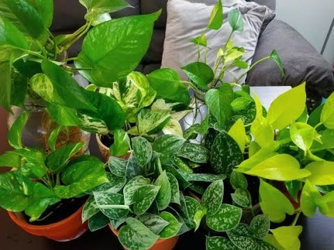 PLANT FEATURES || POTHOS