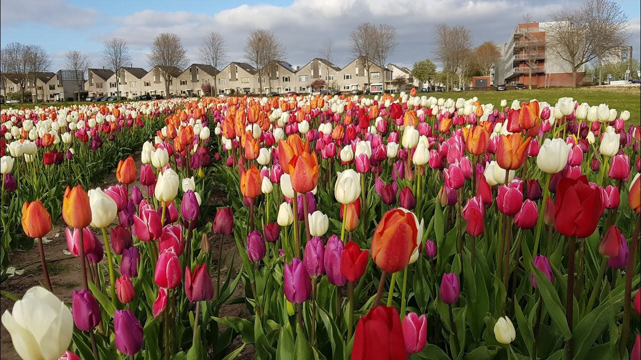 ราชินีแห่งดอกไม้ทิวลิปประเทศเนเธอร์แลนด์ Tulips in Netherland.Relaxing music with beautiful nature
