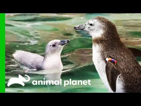 Penguin Chicks Go For Their First Ever Swim! | The Zoo: San Diego