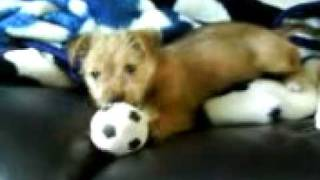 Jackrussell X Yorkshire Terrier