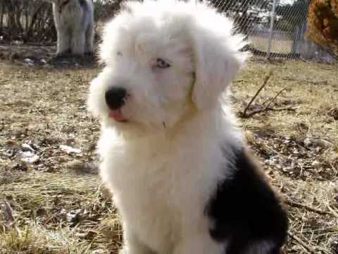 Old English Sheepdog Puppies Youtube