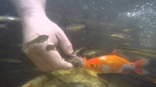 Кормление прудовых рыб, релакс...(Мой домашний пруд и любимые рыбки)) немного бояться присутствие камеры)) Кто скажет, что за дикие рыбки плава..., 2015-09-22T17:35:52.000Z)
