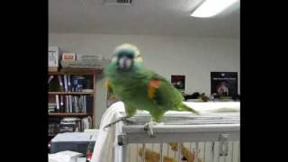 "Amazon Parrot Sings ""Sponge Bob Squarepants"""