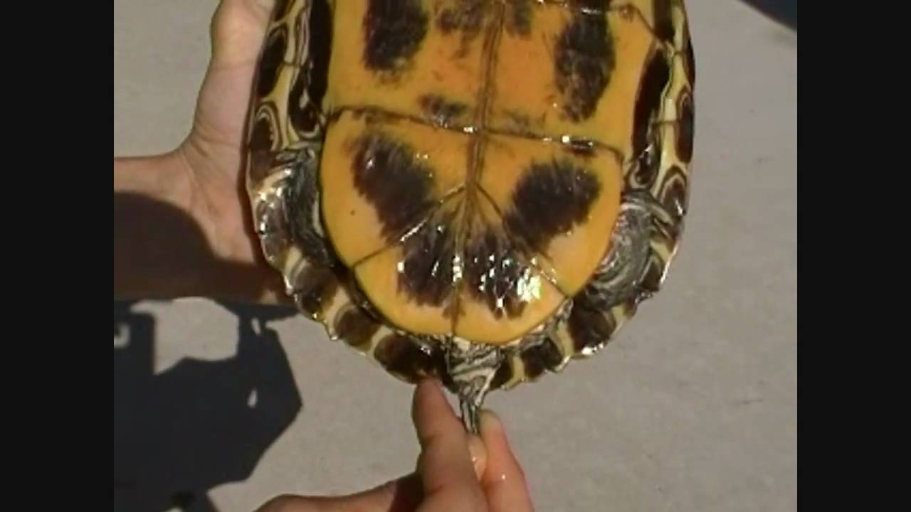 Watch How to Tell If a Turtle Is Male or Female video