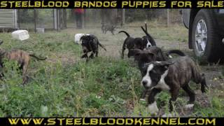 Puppies for sale Steelblood Bandog Kennels SBK9