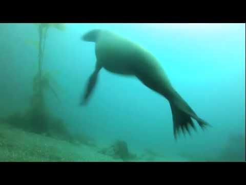 Anacapa Sea Lions