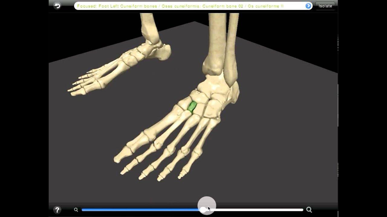 Skeleton Foot Youtube