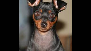 Cute Puppy Rocky Balboa Miniature Pinscher Zwergpinscher, Min Pinis A Small Breed Of Dog