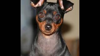 Cute Puppy Rocky Balboa Miniature Pinscher Zwergpinscher, Min Pinis A Small Breed Of Dog