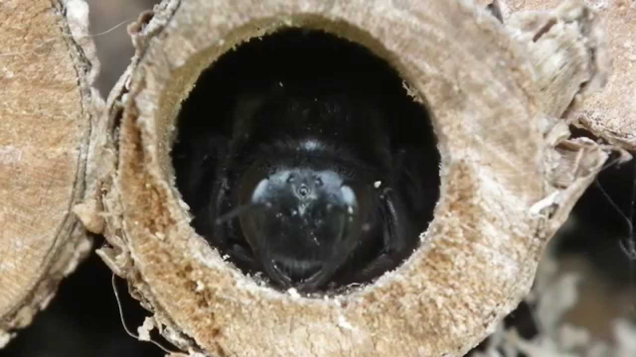 blue black carpenter bee abeille charpenti re xylocopa violacea youtube. Black Bedroom Furniture Sets. Home Design Ideas