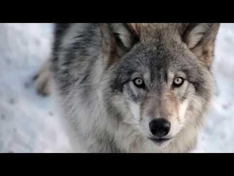 Как победить волка