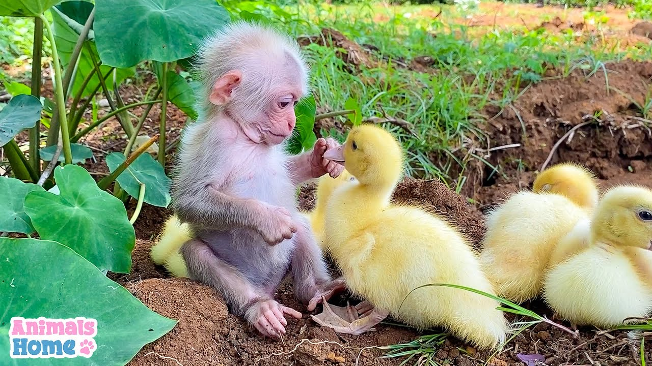 Baby monkey helps dad take care of ducks