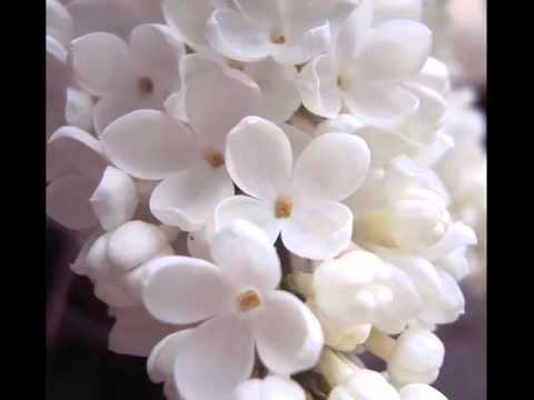 White lilac beautiful white color folwer pictures youtube white lilac beautiful white color folwer pictures mightylinksfo