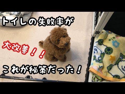 子犬のトイレ失敗が大改善!成功を繰り返すニコ♡