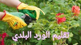 تعلم كيفية تقليم الورد البلدي والعناية به للحصول على ورود جميلة