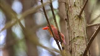 火の鳥アカショウビン thumbnail