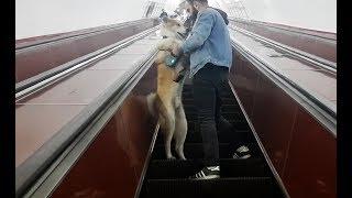 FUNNY! How dog akita is afraid to climb an escalator in metro