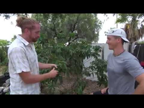 Lychee Tree Update Phoenix, AZ