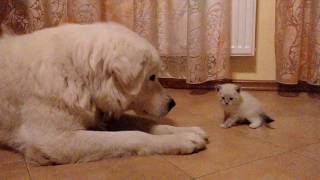 Маремма и котёнок
