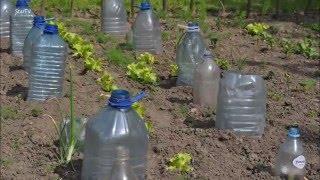 zabezpieczamy rośliny na ogrodzie za pomocą butelek Pet