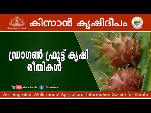 Dragon fruit cultivation
