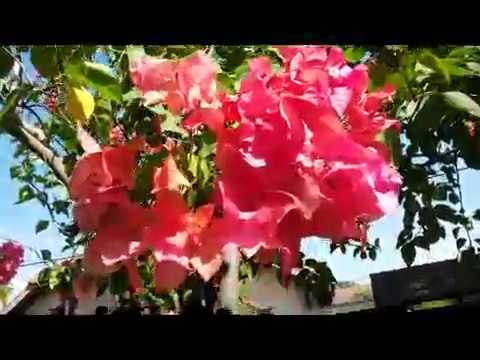 Bougainvillea tropical perennial flowering plant youtube bougainvillea tropical perennial flowering plant mightylinksfo