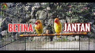 Download lagu SETINGAN HARIAN - lovebird player Betina Untulan Jantan Dewasa