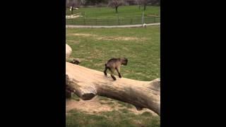 Bébés chèvres jouent à la saute mouton, Signal de Bougie, S