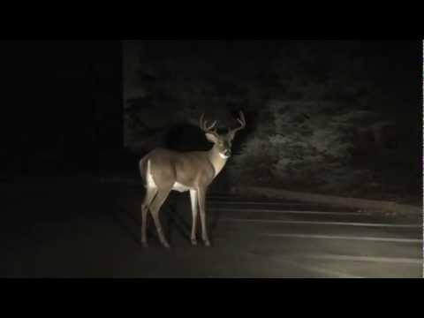 DEER IN HEADLIGHTS ( Buck in Springfield Pa.)