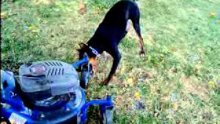 Doberman Vs Lawn Mower