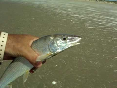 Bone fish in sea of cortez youtube for Fish without bones