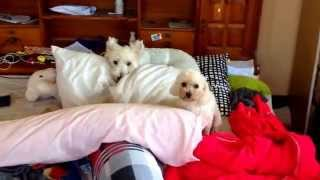 Toy Poodle Bellies Up Out Of Guilt (and Busy Body Westie Pretends To Be Innocent)