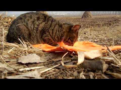 吃垃圾的狸花猫,在乡村的田野小路上遇见一只流浪猫,它一开始不知道吃猫粮、可能是第一次吃猫粮