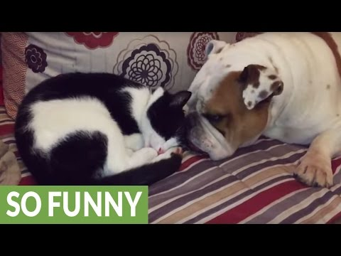 Cat and Bulldog give each other tongue bath