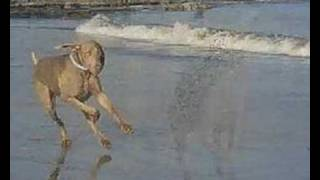 Max The Weimaraner - Playing In The Surf..