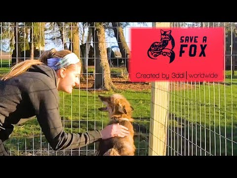 Rescued Fox Adoption - Todd The Red Fox Finds A New Home
