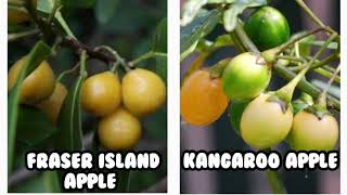 Bush Tucker Garden - Fraser Island Apple & Kangaroo Apple